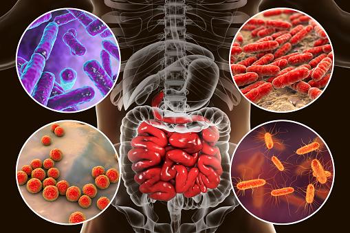 Intestinal microbiome, bacteria colonizing different parts of digestive system, Bifidobacterium, Lactobacillus, Enterococcus and Escherichia coli, 3D illustration